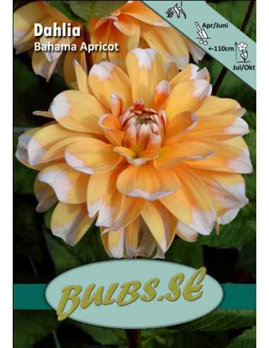 Bahama Apricot - Dahlia Dekorativ