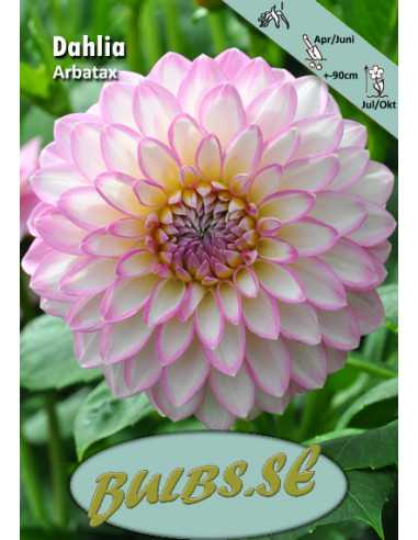 Arbatax - Dahlia Dekorativ