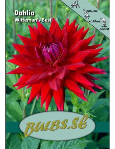 Witteman's Best - Dahlia Kaktus