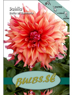 Belle of Barmera - Dahlia...