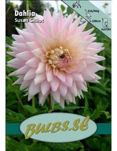 Susan Gilliot - Dahlia Kaktus
