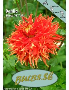 Show'n Tell - Dahlia Kaktus