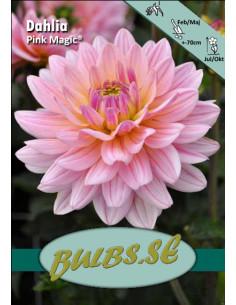 Pink Magic® - Dahlia Dekorativ