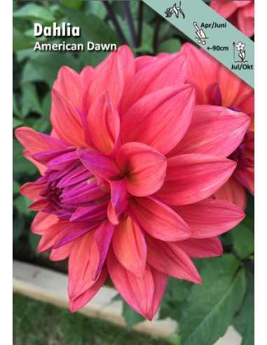 American Dawn - Dahlia Dekorativ