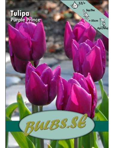 Purple Prince - Tulpan Enkel