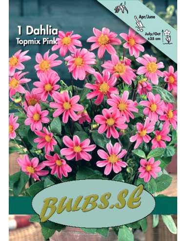 Topmix Pink - Dahlia Enkel