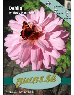 Melody Harmony® - Dahlia...