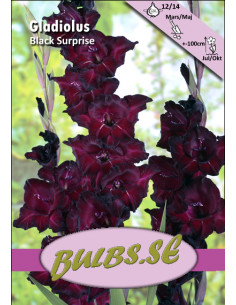 Gladiol - Black Surprise