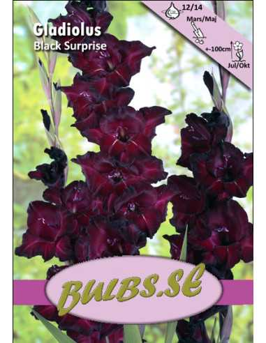 Black Surprise - Storblommig Gladiol