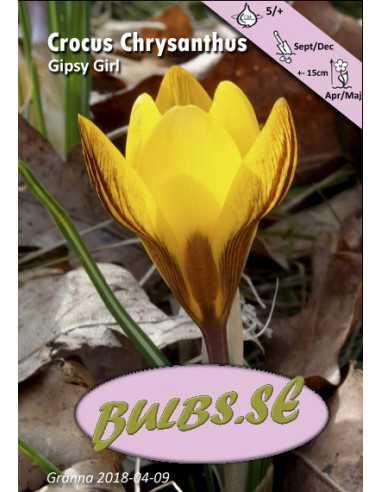 Gipsy Girl - Bägarkrokus