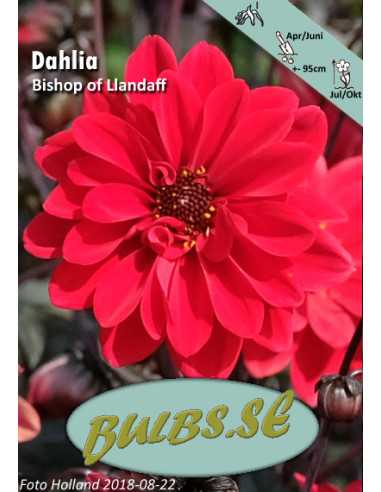 Bishop of Llandaff - Dahlia Enkel