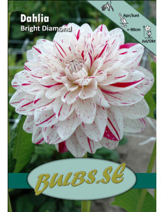Bright Diamond - Dahlia...
