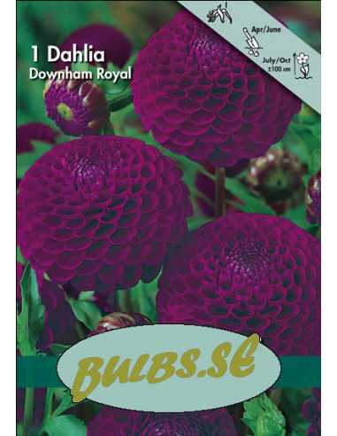 Downham Royal - Dahlia Boll