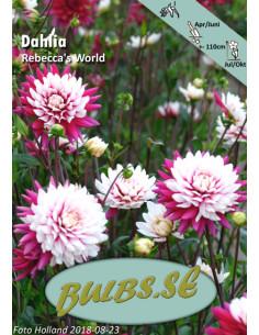 Rebecca's World - Dahlia...