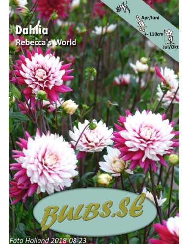 Rebecca's World - Dahlia Dekorativ