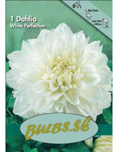 White Perfection - Dahlia...
