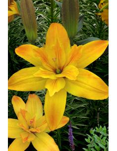 Gold Twin - Dubbel Lilja