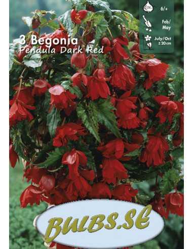 Hängbegonia - Röd