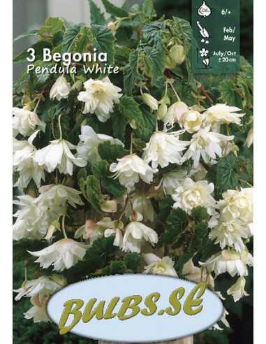 White Pendula - Hängbegonia