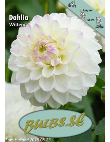 White Pearl (Wittem) - Dahlia Dekorativ