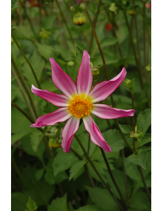 Honka Pink - Dahlia Orkide