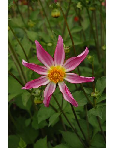 Honka Pink - Dahlia Diverse