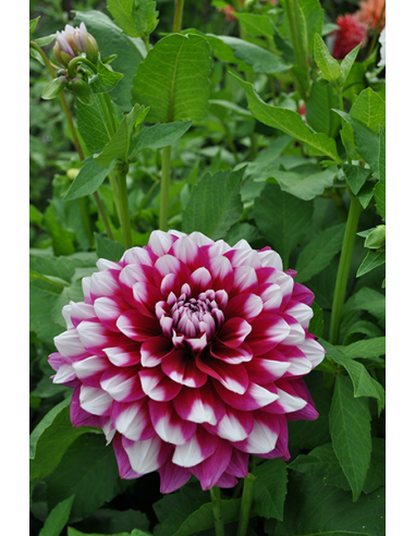 Patches - Dekorativ Dahlia