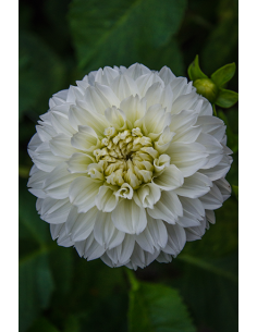 Gitt's Attention - Dahlia...