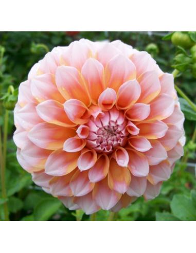 Peaches - Dahlia Dekorativ