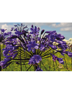 Black Buddhist Agapanthus -...