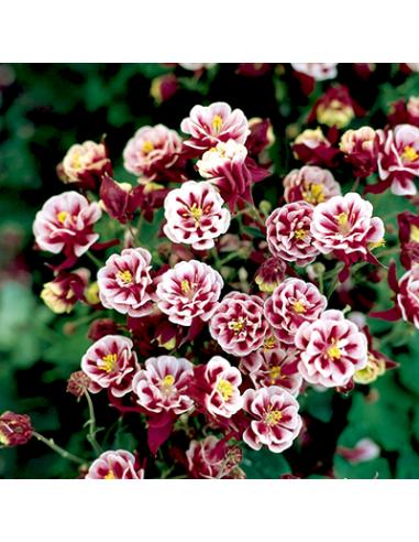 Akleja - Winky Double Rose & White