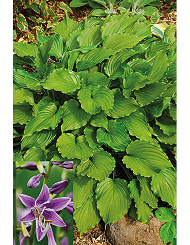 Hosta - Purple Sensation