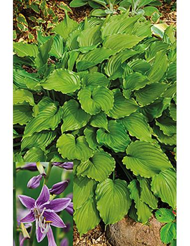Purple Sensation - Hosta