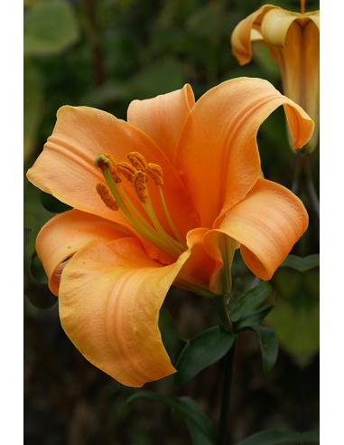 Orange Planet - Trumpetlilja