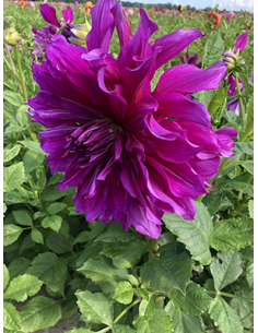 Purple Taiheijo - Dahlia...