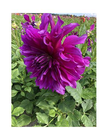 Purple Taiheijo - Dahlia Dekorativ Jätte