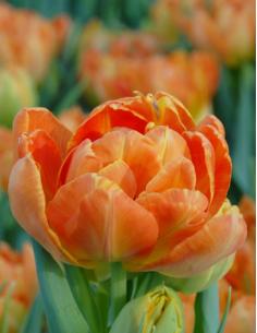 Monte Orange - Tulpan Dubbel