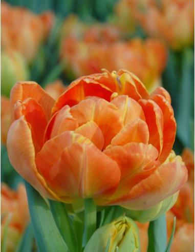 Monte Orange® - Tulpan Dubbel