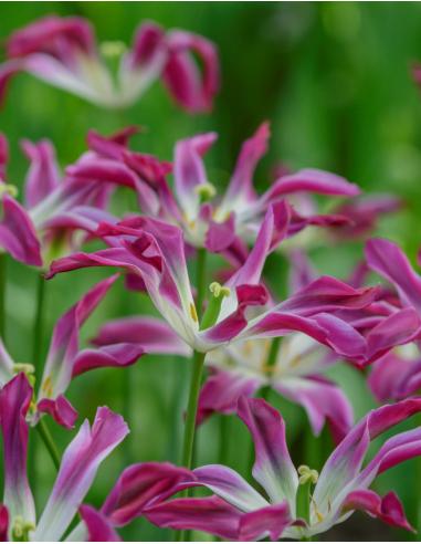 Purple Dance - Tulpan Liljeblommande