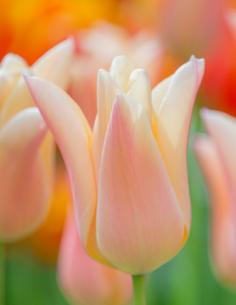 Sanne - Tulpan Liljeblommande