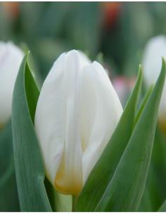 White Prince® - Tulpan Enkel