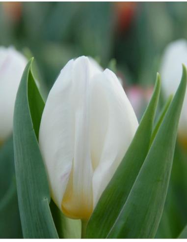 White Prince® - Tulpan Triumph