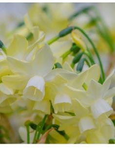 Lemon Hunter - Orkidénarciss
