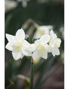 Pueblo - Jonkvill Narciss