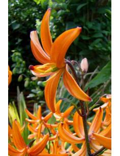 Orange Marmelade - Krollilja