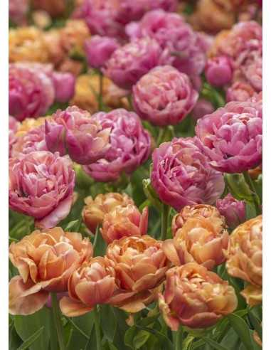 Pink Champaign - Blandning tulpaner
