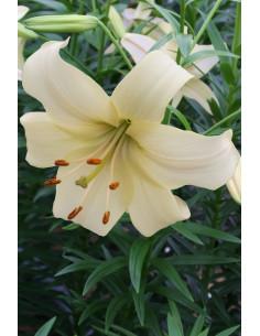 Pearl White - Asiatisk Lilja