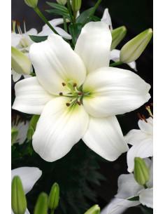 Navona - Asiatisk Lilja