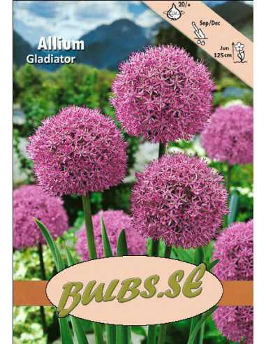 Gladiator - Allium
