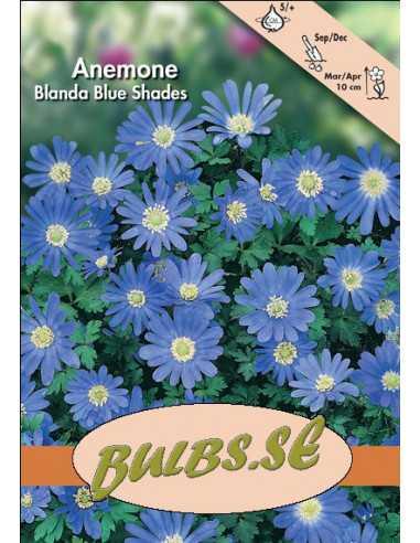 Blå balkansippa Blue Shades - Anemon